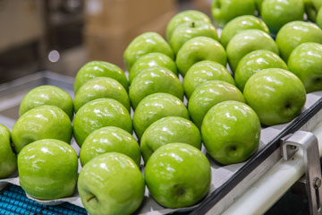 Apples on a conveyor belt.