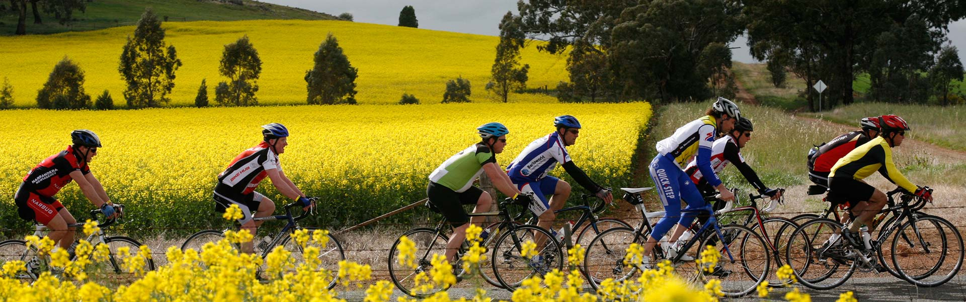 Cyclists riding though canola fields.